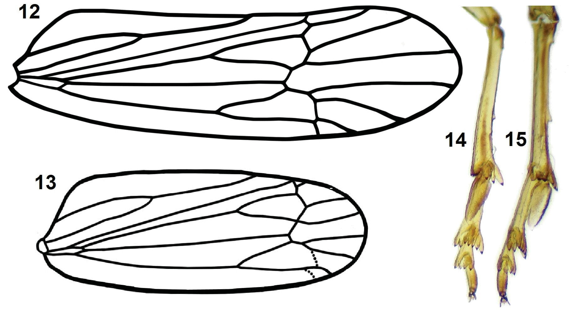 Astatometopon sakakibarai