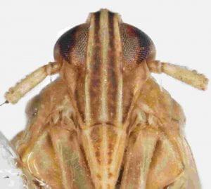 Stenocranus similis