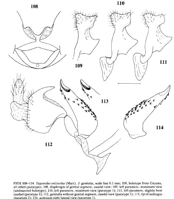 Tagosodes orizicolus from Asche and Wilson 1990.