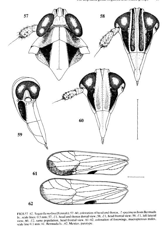Sogatella molina from Asche and Wilson 1990