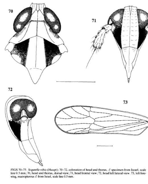 Sogatella vibix from Asche and Wilson 1990