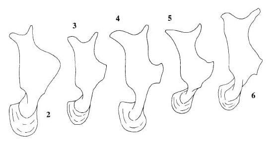 Sogatella left paramere from Asche & Wilson 1990