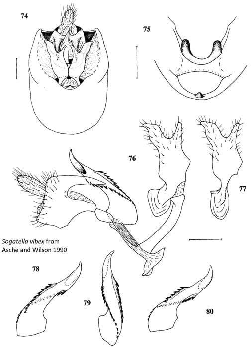 Sogatella vibex from Asche and Wilson 1990