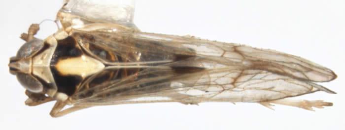 Sogatella furcifera