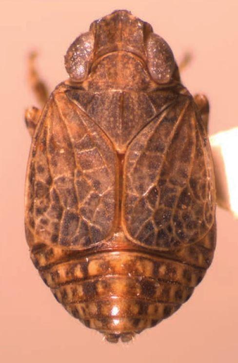 Adenissus fuscus