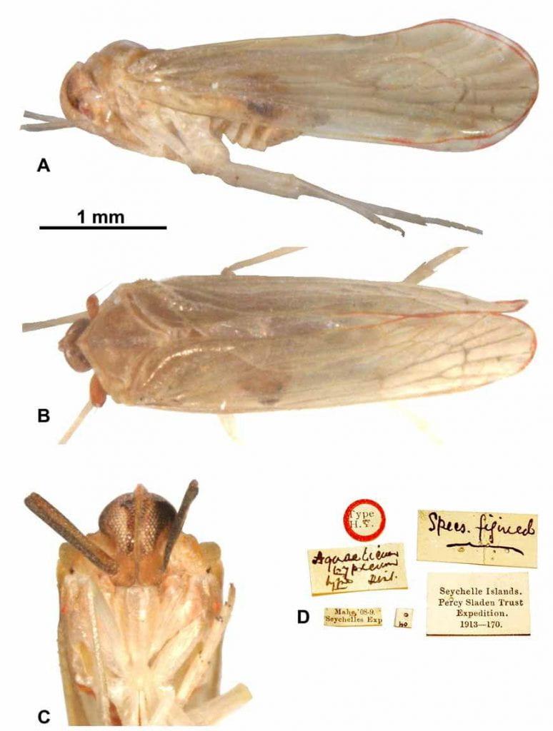 Aquaelicium typicum (lectotype) from Locker et al 2009