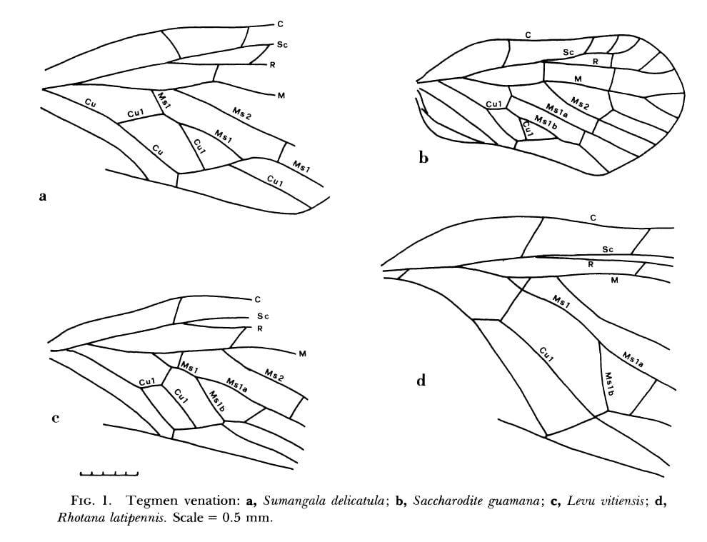 Derbidae forewing venation from Zelazny 1981