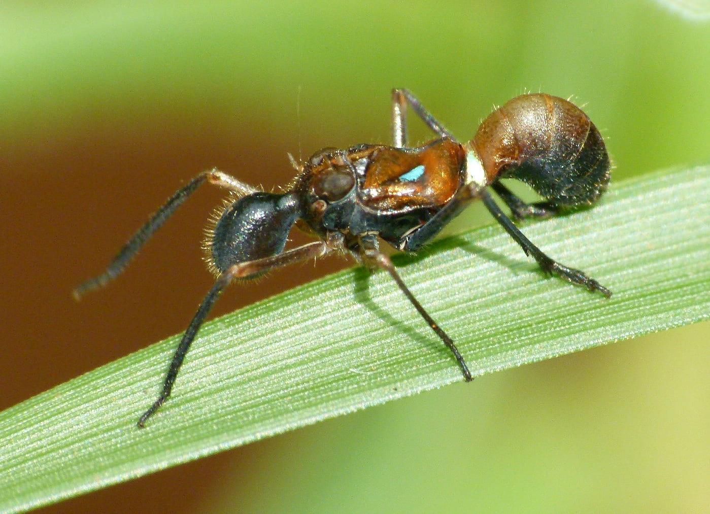 Formiscurra indicus