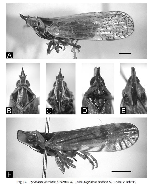 Locker et al. 2005 Figure 13 Dysoliarus unicornis: , Orphninus mouldsi