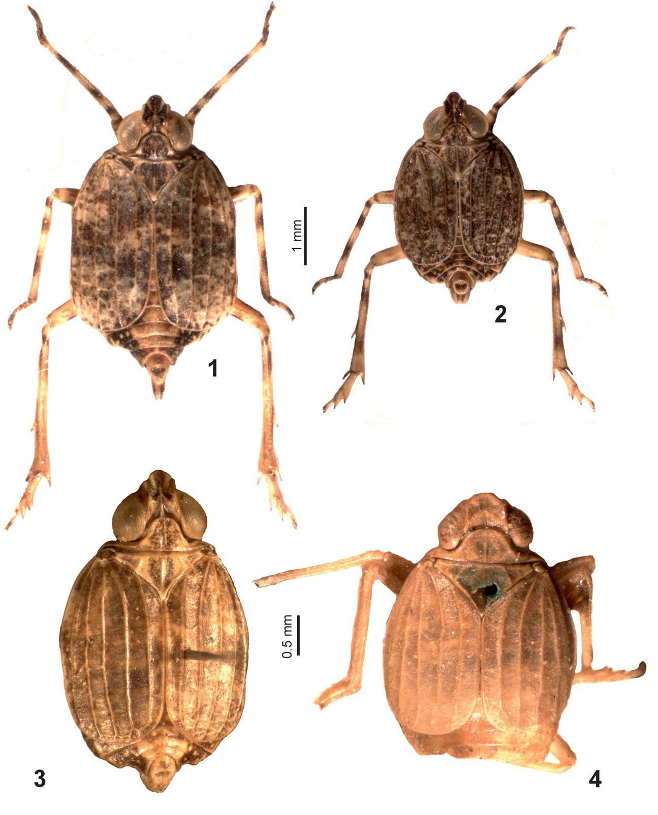 Raunolina species