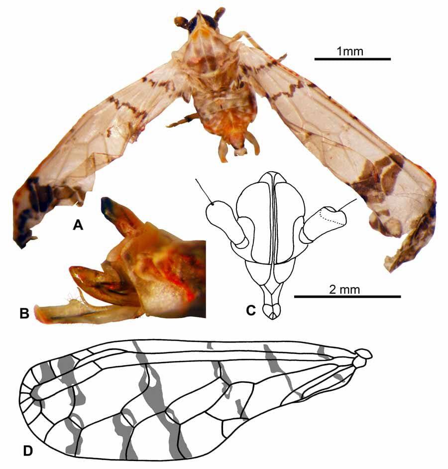 Sikaiana albomaculata
