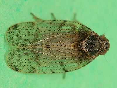 Tachycixius pilosus, borrowed from British bugs
