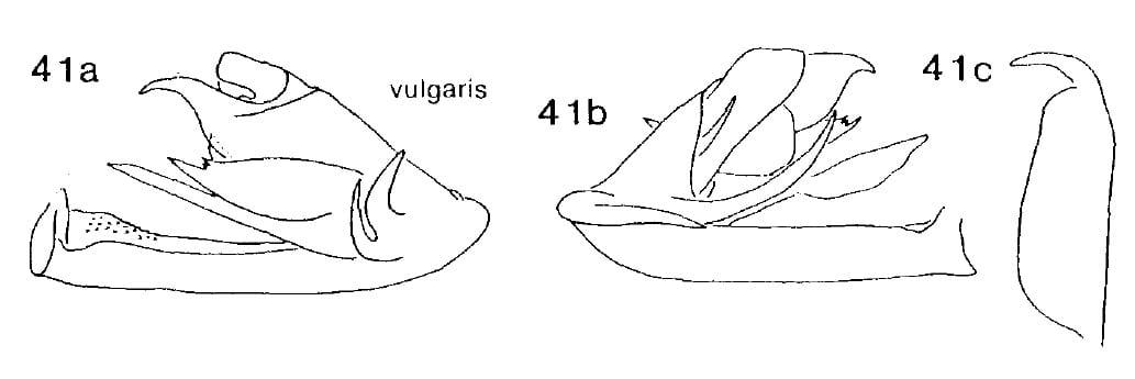 Cedusa vulgaris