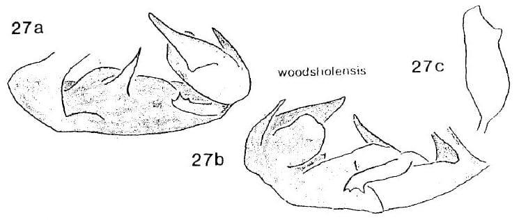 Cedusa woodsholensis