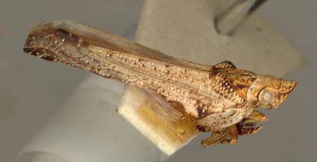 Austrodascalia evansorum Fletche