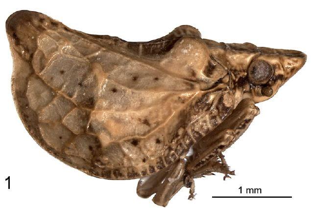 Dixamflata petri Stroinski et al 2016