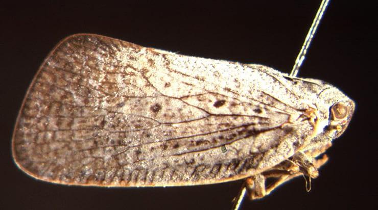 Dworena hyacintha (Kirkaldy)