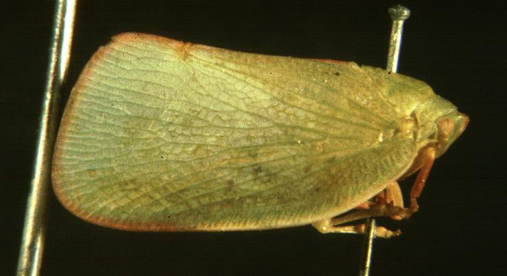 Euphanta munda (Walker)