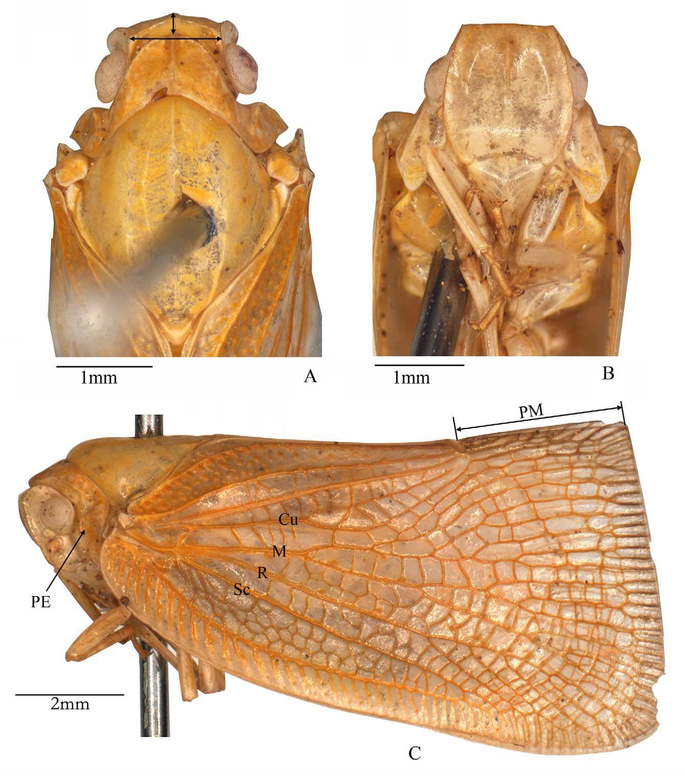 Flata ferrugata Fabricius