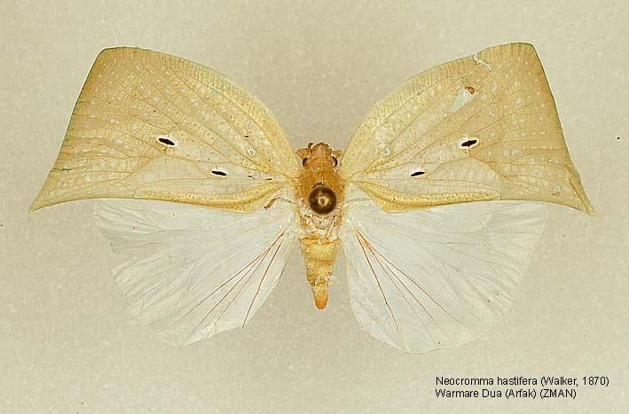 Neocromna hastifera [Warmare Dua, Papua, ZMAN]