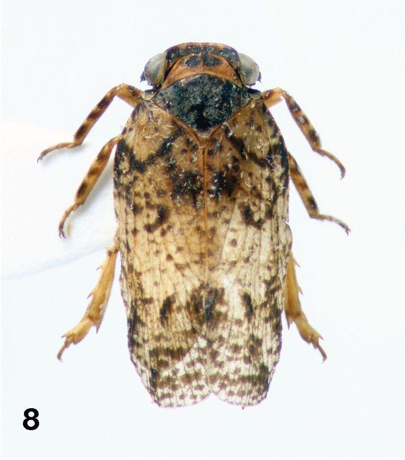 Neoplatybrachys orientalis