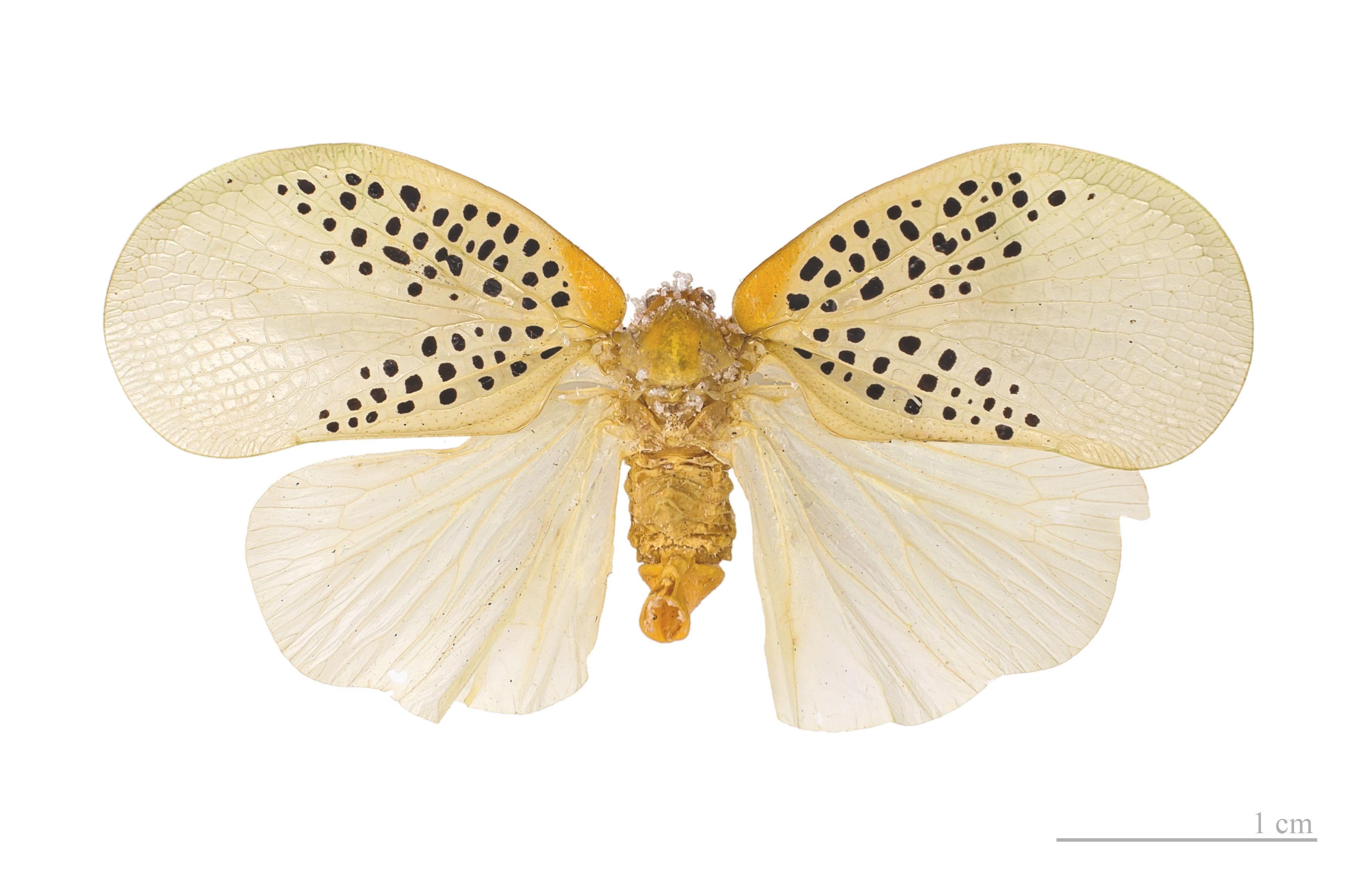 Poekiloptera phalanaedes MHNT