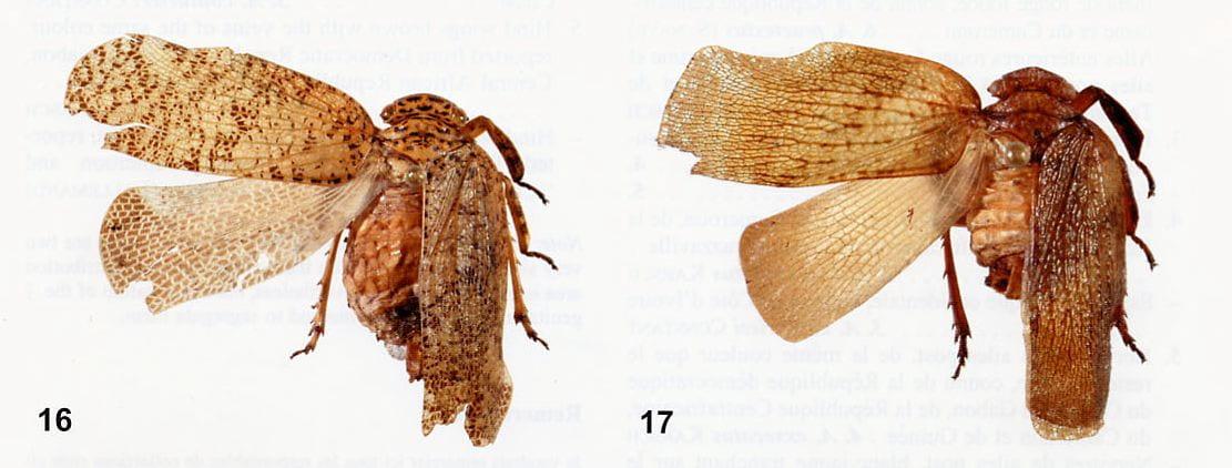 Amychodes couturieri and Amychodes exsecatus