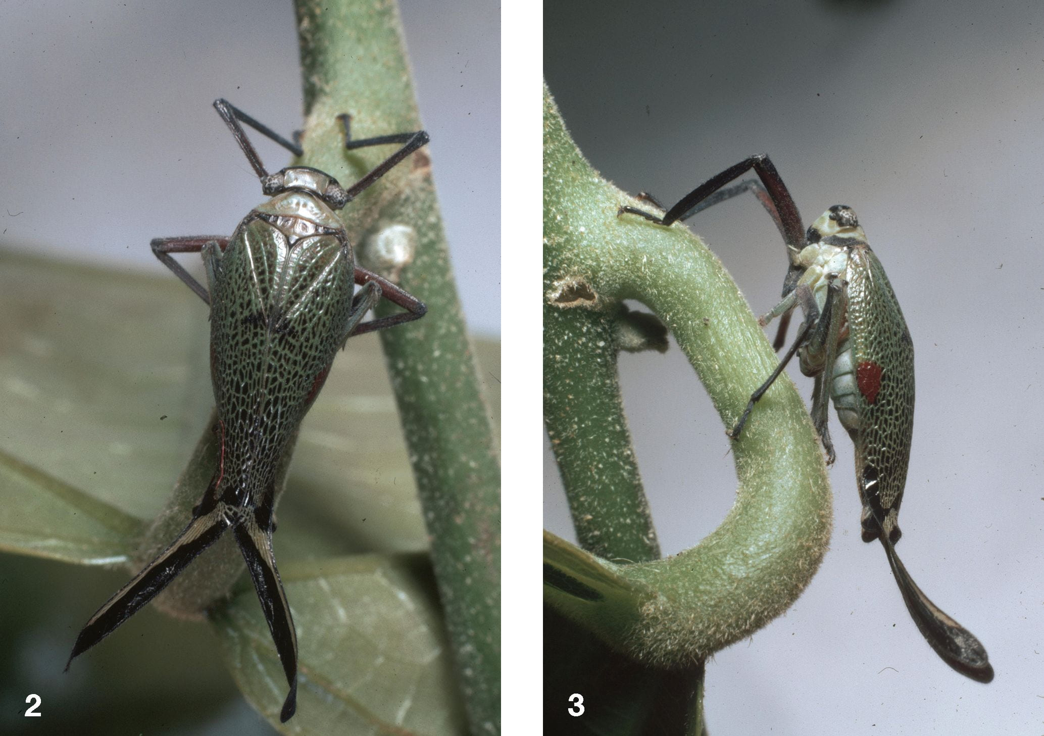 Parancyra bivulnerata