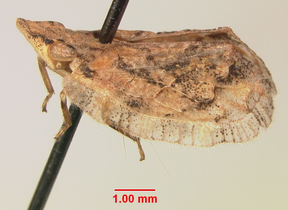 Microeurybrachys vitrifrons.