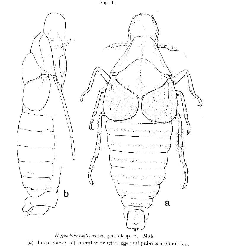 Hypochthonella caeca China & Fennah, 1952