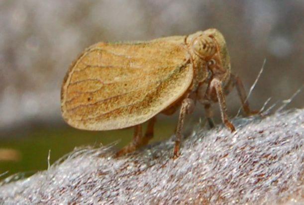 Hysteropterum