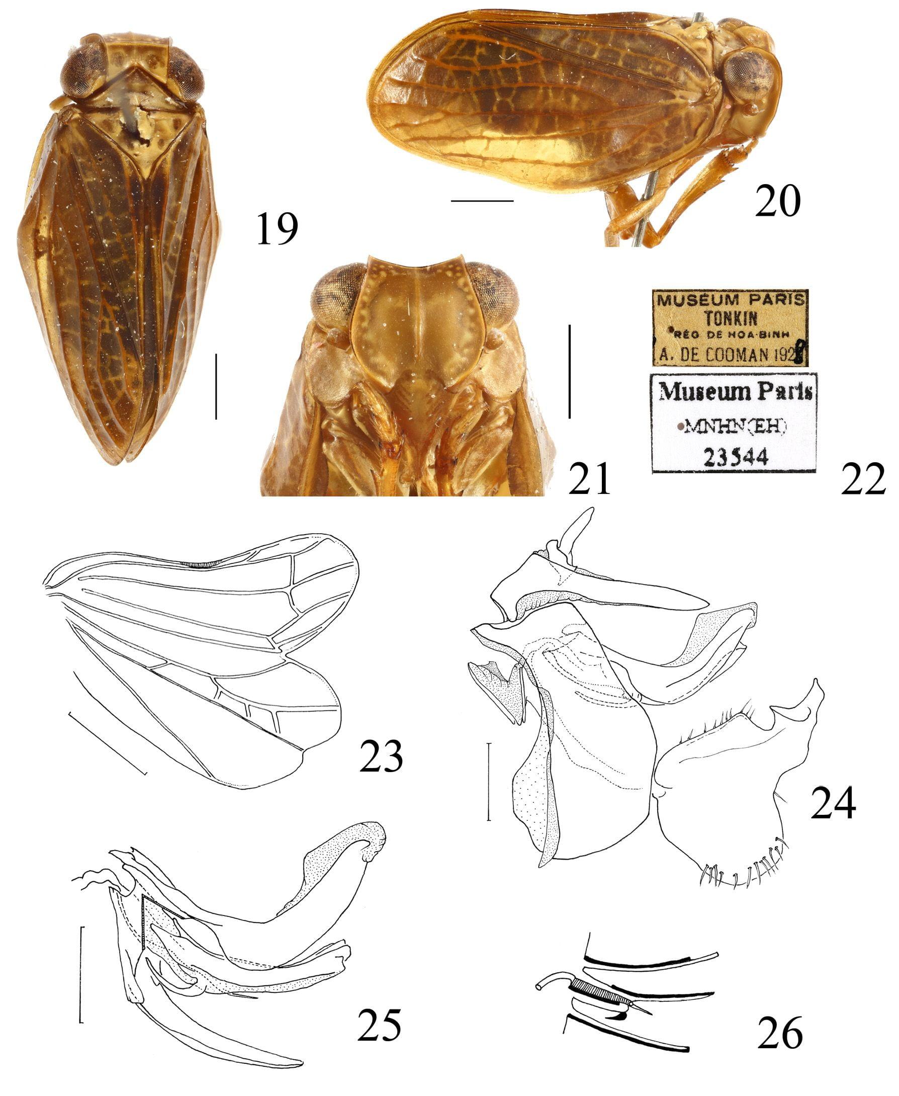 Tetricissus philo