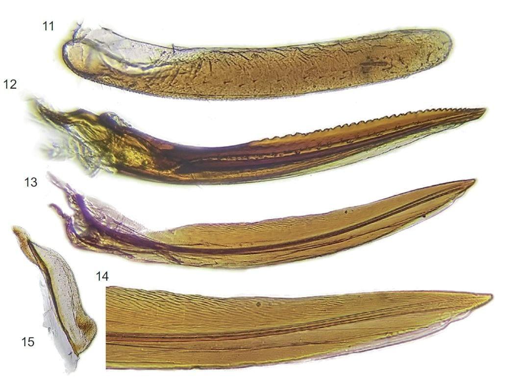 Tragedian chusqueae Campodonico 2017 ovipositor from original publication.