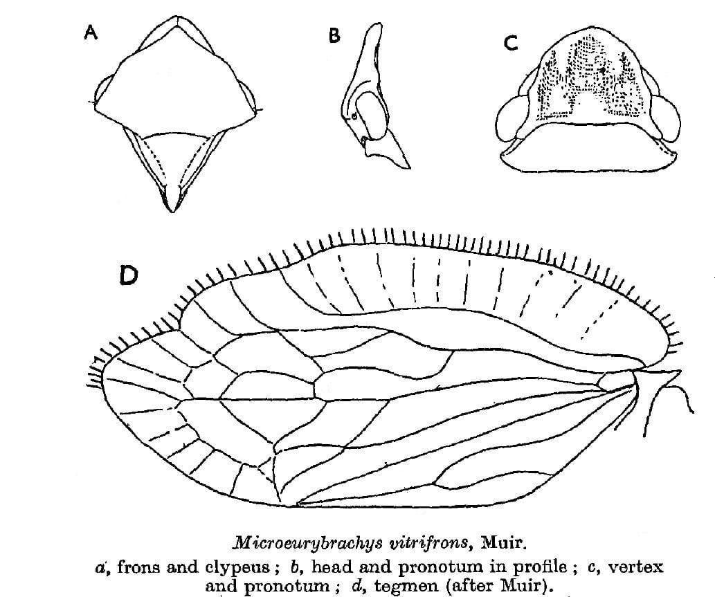 Microeurybrachys vitrifrons Muir, 1931