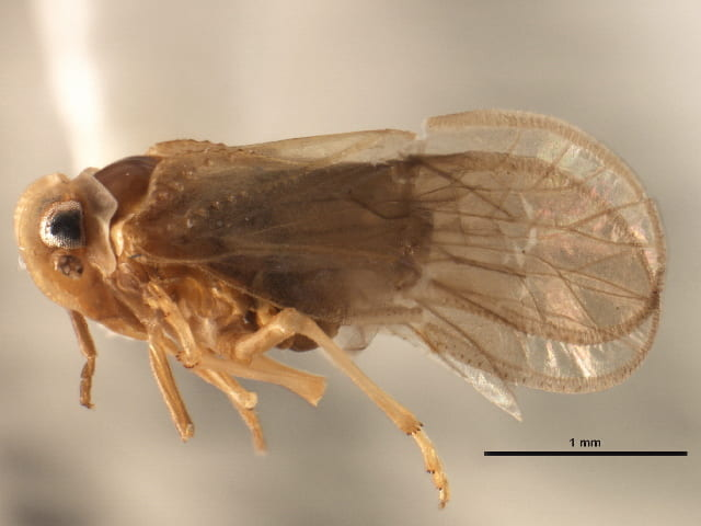 Anigrus sp. (image from BOLD from Canadian National Collection).