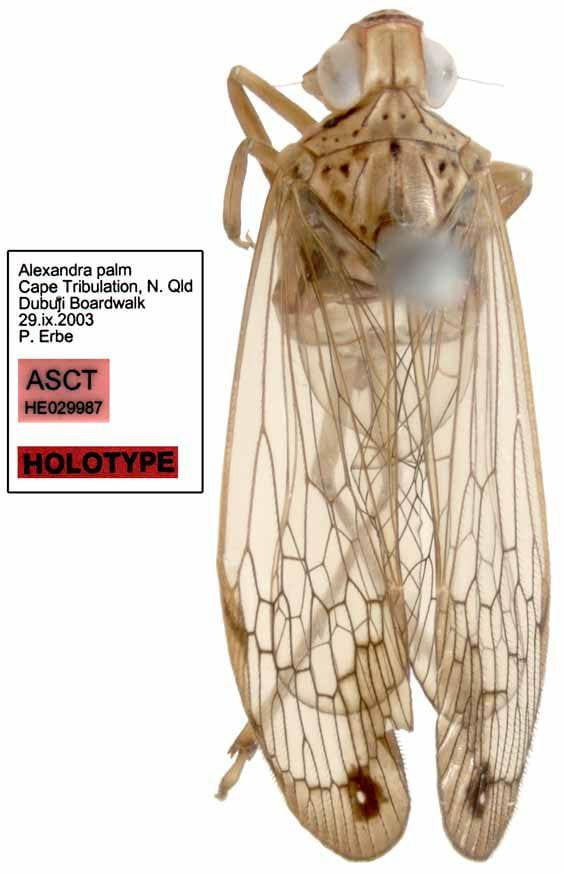Magia stuarti holotype