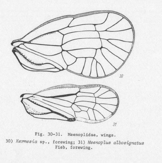 Wings of Meenoplidae from Emeljanov 1994