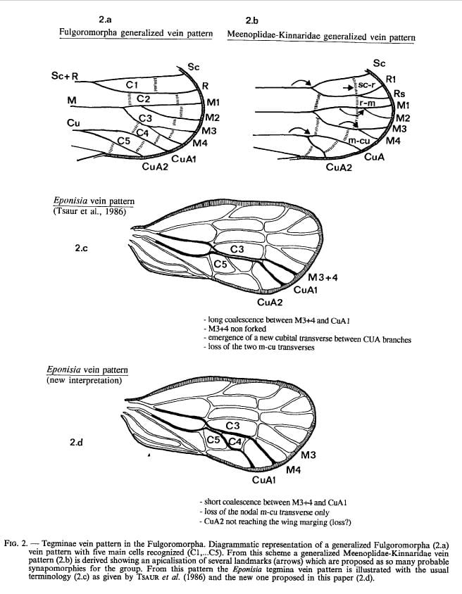 Forewing venation in Meenoplidae from Bourgoin