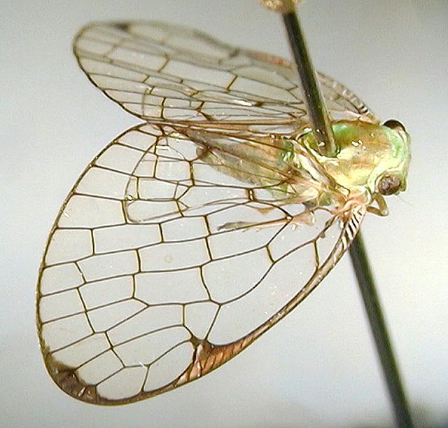 Armacia hyalinata (Donovan)