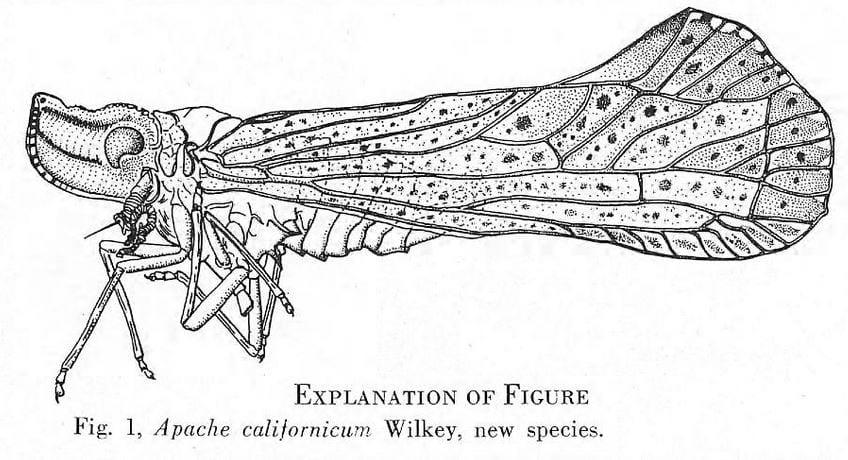 Apache californicum