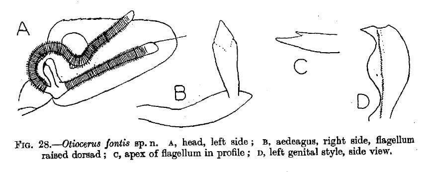 Otiocerus fontis