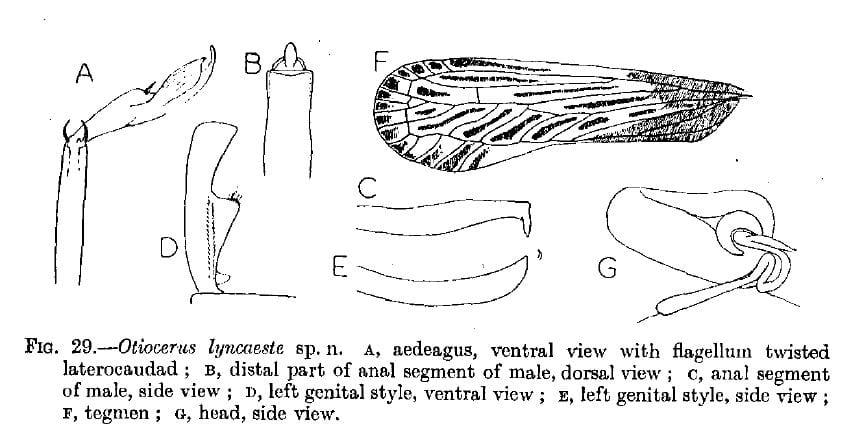 Otiocerus lyncaeste