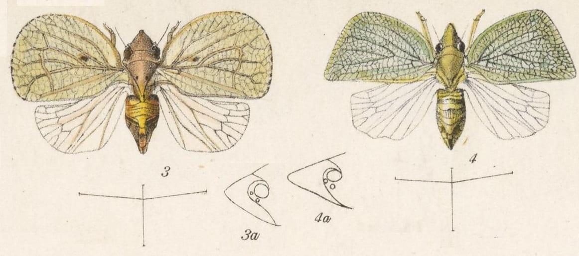 3 Acanalonia caelata, 4 Acanalonia pinniformis
