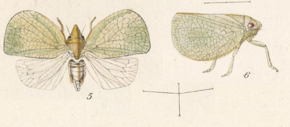 5 Acanalonia affinis, 6 Acanalonia gaumeri