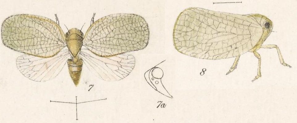 7 Acanalonia virescens, 8 Acanalonia delicatula