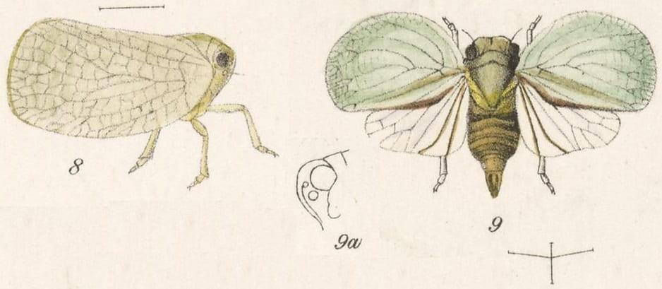 8 Acanalonia delicatula, 9 Acanalonia concinnula