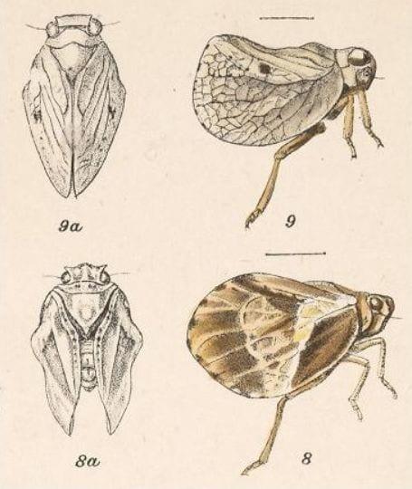 Amphiscepa calida and Amphiscepa subpellucida