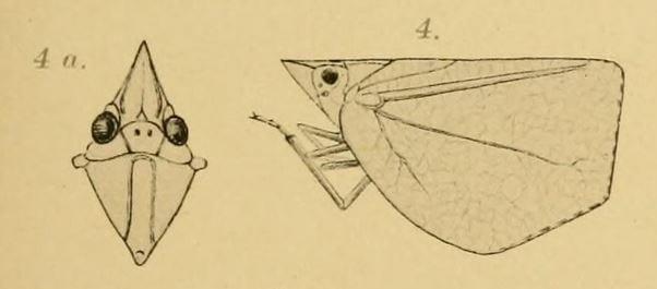 Chlorochara vivida