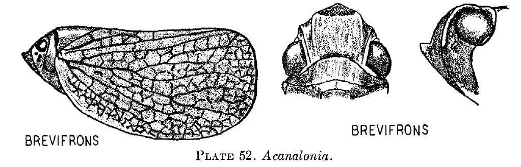 Bulldonia brevifrons