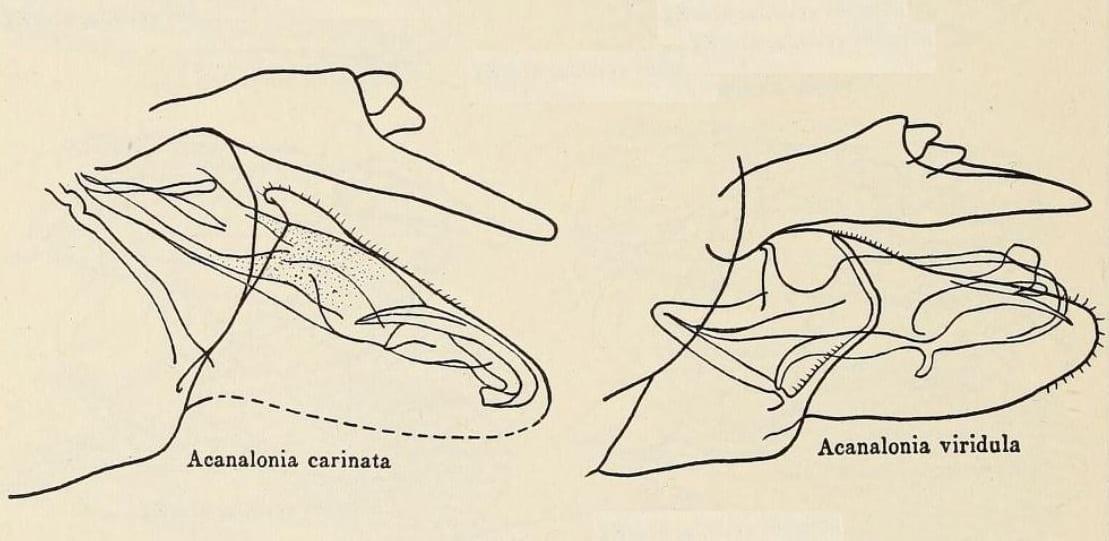 Acanalonia carinata and A. viridula